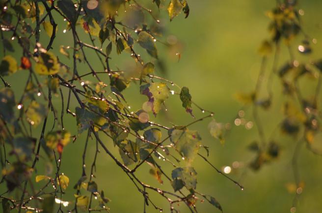 Birke im Regen grün