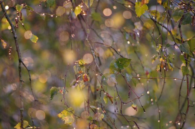 Birke im Regen
